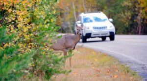 car deer accidents